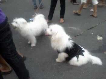 dogs parade - a parade of dogs in our area