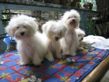Maltese Puppies - Yes, having the puppies are like having children. but the feeling is rewarding I am telling you.. These are maltese puppies and they are really adorable, from the time the were born up to the adulthood. Fantastic and amazing ones. Learn how to deliver the litter I am like a doctor. Asking a veterinarian is very expensive and the deal is an amount for the mom and each of the litter. so really very expensive.