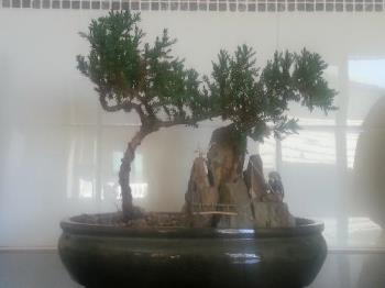 My Bonsai - This is a photo of my bonsai