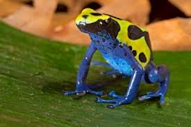 Colored frog - I know that as more colorful is the frog more poissonus is the frog.