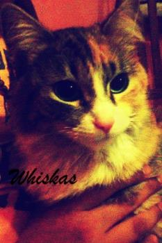 Whiskas my missing kitty - Whiskas hasn´t came home in the last 32 hours. I just hope that she is taking a long trip and soon comes back.