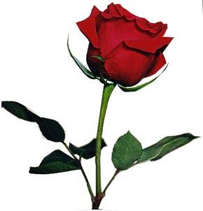 Rose - Rose, flower