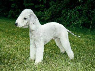 Bedlington Terrier - These dogs look like little lambs