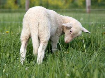 Lamb with long tail - Lambs do have tails, but they are usually docked.