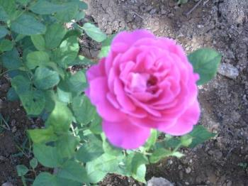 Pink Rose - This was the first pink rose flower that bloomed a few months ago.