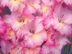 beautiful flowers - nice, aren't they?