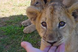 baby lion cub - they are so cool and soft,it would be like just having a big cat at home