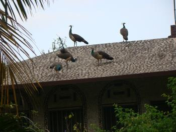 peacocks on top of our roof