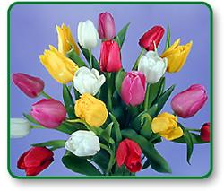 Tulips - A variety of colors of tulips.