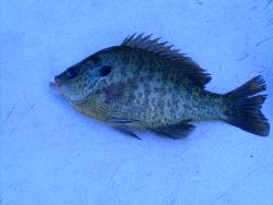 Perch? - I don't know if these are perch or blue gill
