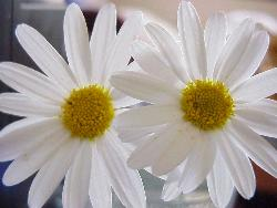 White Daisies - These are some white daisies from our garden - aren't they beautiful ?