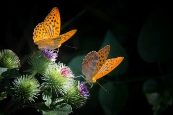 https://pixabay.com/en/silver-bordered-fritillary-butterfly-877121/ by bogitw.