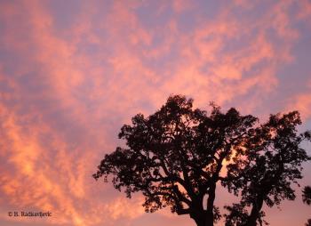 Oak at Sundown, Paso Robles, California