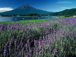 Lavender Fields - Lavender field at the foot of a mountain.