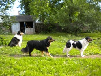 My Collie dogs