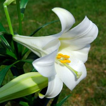 https://commons.wikimedia.org/wiki/File:Lilium_longiflorum_(Easter_Lily).JPG