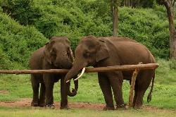 Love - Two elephants with trunks entwined