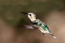 Bee humming bird.