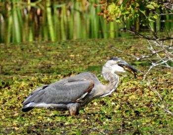 Great Blue HEron with Fish by minx267