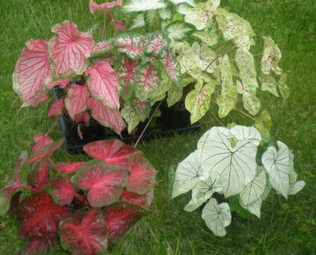 various caladium plants in pots