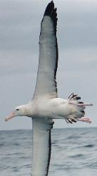 The wandering albatross  - The wandering albatross