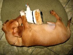 my 7 months old miniature dachshund boy TAKO - Very cute shot... :) He is taking a nap with his favorite friend..lol