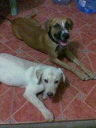 my lab and pit  - the white lab is jojo and the brown pit is governnor