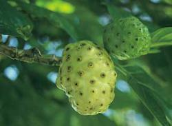 fruits on tree - noni fruits