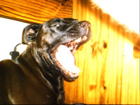 katana - katana my american pittbul having a yawn