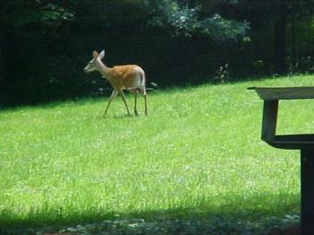 Deer on the Farm - Deer on the Farm, taken right outside of my dining room window