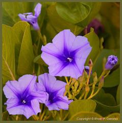 Flowers - blue flowers..