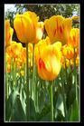 tulip - tulip