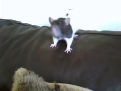 zoe - pet rats are my favorite :)