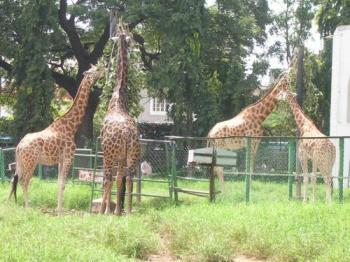 Giraffes at Mysore Zoo, India - Photographed at Mysore, India