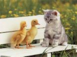cat and the chicks - Akitten and two chiks