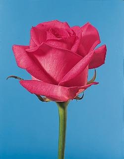 Rose - rose