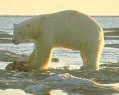 polar bear - bear