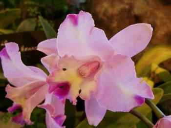 Orchids - Photographed at Mysore floral show