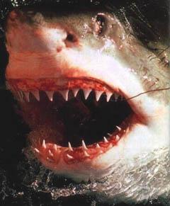 shark teeth - shark teeth