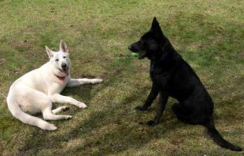 My girls.  - White German Shepherd; Ginger. Two years old.  Rescue.