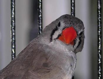 Female Zebra Finch - female zebra finch in cage