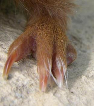 Extra Toe on Back Foot of a Guinea Pig - One of these toes shouldn't be there.