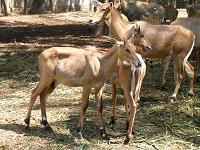 stags at Bandipur Reserve Forest - Photographed at Bandipur, Karnataka