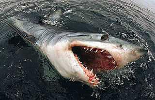 Shark. - Shark.