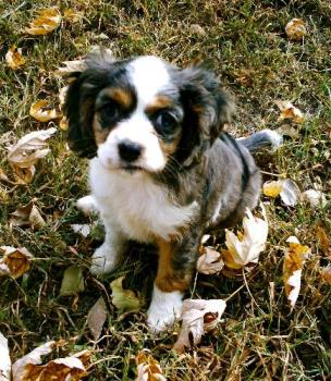 Zoey - heres are family puppy. Zoey. Shes mostly my daugthers. She a king charles cavilair and cocker spanial. shes a cockalair.