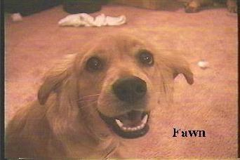 My Sweet Fawn - Picture of my cocker spaniel dog, Fawn.