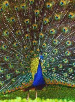 peacock - peacock