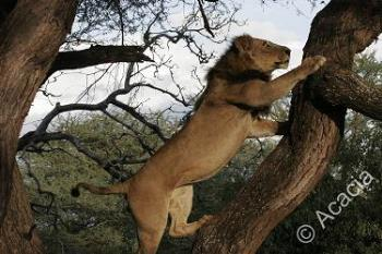 Male lion climbing up a tree - Here's is a picture of a male lion climbing up a tree.