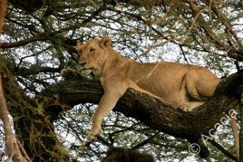 Female lion relaxing in a tree - Here's a female lion just lounging about in a tree.