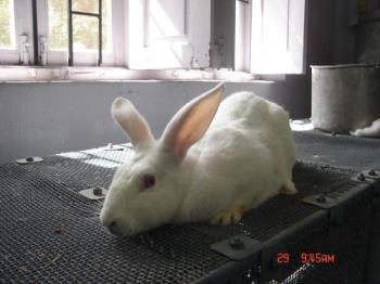 rabbit - Photographed at Mysore